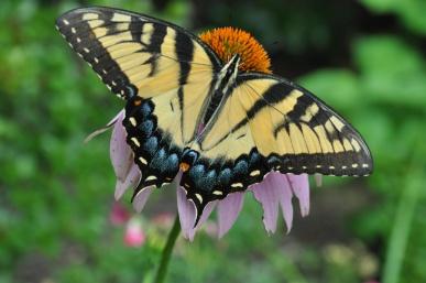 butterfly coneflower