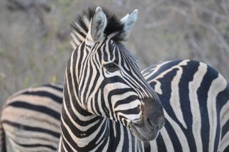 South Africa Zebra 2